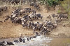 Wildebeest (Connochaetes taurinus) Wielka migracja Obrazy Royalty Free