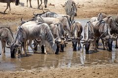 Wildebeest (Connochaetes taurinus) Royalty Free Stock Photo