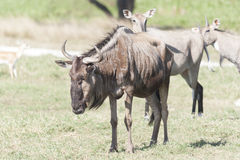 Wildebeest Connochaetes w zoo parku, Villahermosa, Tabasco, Meksyk Obraz Royalty Free