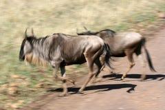 Wildebeest - cratera de Ngorongoro, Tanzânia, África Imagem de Stock