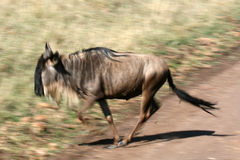 Wildebeest - cratera de Ngorongoro, Tanzânia, África Imagens de Stock Royalty Free