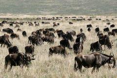 Wildebeest - cratera de Ngorongoro, Tanzânia, África imagens de stock