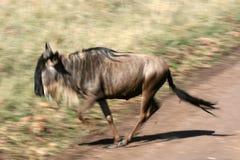 Wildebeest - cratere di Ngorongoro, Tanzania, Africa Immagini Stock Libere da Diritti