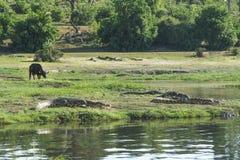 Wildebeest and crocodiles Royalty Free Stock Photo