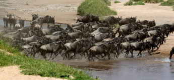 Wildebeest cross a river while migrating Royalty Free Stock Photos