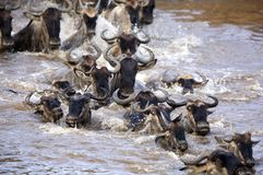 Wildebeest crossing Mara river Royalty Free Stock Photo
