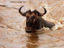 Wildebeest crossing the Mara river Stock Photos