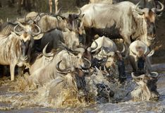 Wildebeest crossing Mara river, Masai Mara Royalty Free Stock Images