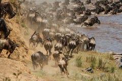 Wildebeest migration in Kenya stock images