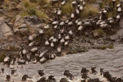 Wildebeest crossing river Stock Images
