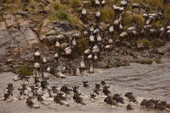 Wildebeest crossing river Stock Photo