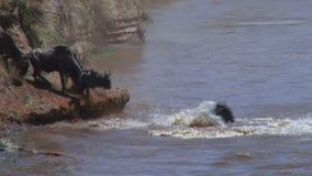 Wildebeest crossing river stock video footage