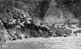 Wildebeest crossing a river in the Masai Mara, Kenya. Black and Stock Photography