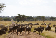 Wildebeest crossing the road. Wildebeest on dusty road, crossing during the great migration in Serengeti National Park Stock Photo