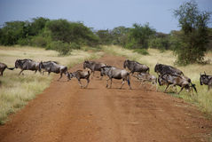 Wildebeest crossing road. Wildebeest during the great migration cross the road Stock Images
