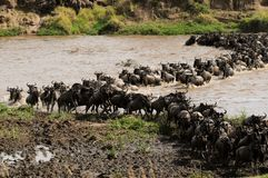 Wildebeest Crossing The Mara River In Tanzania Royalty Free Stock Photos