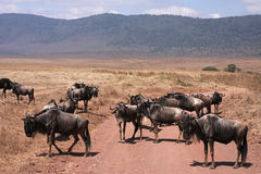 Wildebeest crossing the track Royalty Free Stock Image