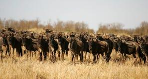 Wildebeest da migração Imagens de Stock Royalty Free