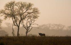 Wildebeest dans le lever de soleil sud-africain Images libres de droits