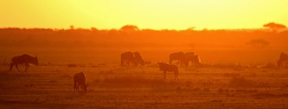 Wildebeest at dawn Royalty Free Stock Images