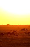 Wildebeest at dawn Stock Photography