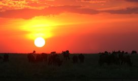 Wildebeest at dawn Stock Photo