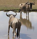 wildebeest de 2 masais du Kenya mara photographie stock