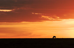 wildebeest de coucher du soleil Photos stock