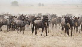 Wildebeest in de Grote migratie, Kenia royalty-vrije stock afbeelding