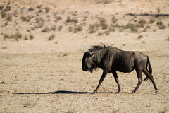 Wildebeest de passeio Imagem de Stock Royalty Free