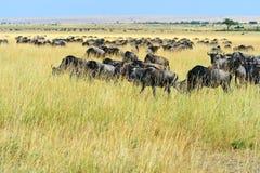 Wildebeest in de Savanne Stock Foto