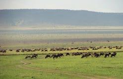 wildebeest de troupeau Images libres de droits
