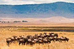 wildebeest de troupeau d'antilopes Photographie stock libre de droits