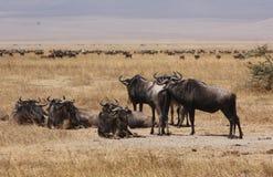Wildebeest del cráter Imagen de archivo libre de regalías