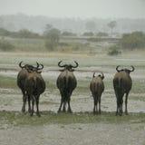 Wildebeest, der im Regen steht Stockfoto