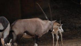 Wildebeest die in de wildernis lopen stock videobeelden