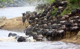Wildebeest die een rivier in Masai Mara kruisen Stock Foto