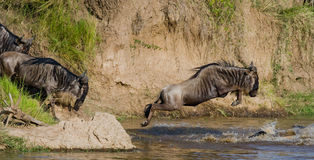 Wildebeest die in Mara River springen Grote migratie kenia tanzania Masai Mara National Park stock afbeelding