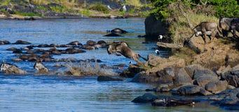 Wildebeest die in Mara River springen Grote migratie kenia tanzania Masai Mara National Park stock afbeeldingen