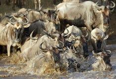 Wildebeest die Mara rivier, Masai Mara kruisen Royalty-vrije Stock Afbeeldingen