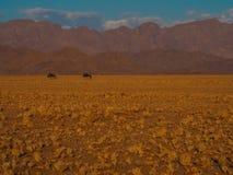 Wildebeest die op droog gras lopen royalty-vrije stock foto