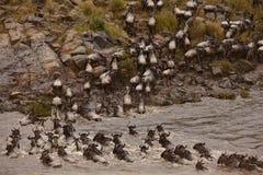 Wildebeest die rivier kruist Stock Foto