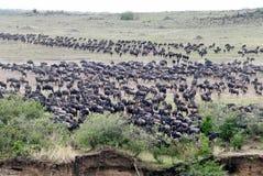 Wildebeest die verzamelt zich te kruisen Royalty-vrije Stock Afbeelding