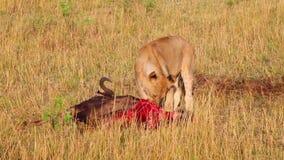Wildebeest die volkomen in het gras liggen Masai Mara stock video