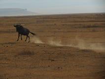 Wildebeest die weglopen Stock Afbeelding