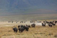 Wildebeest dos animais 071 Fotografia de Stock Royalty Free