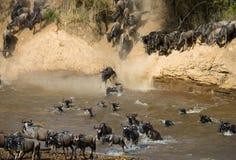 Wildebeest doskakiwanie w Mara rzekę wielka migracja Kenja Tanzania Masai Mara park narodowy Obraz Royalty Free