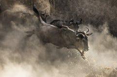 Wildebeest doskakiwanie w Mara rzekę wielka migracja Kenja Tanzania Masai Mara park narodowy Obrazy Stock