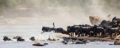 Wildebeest doskakiwanie w Mara rzekę wielka migracja Kenja Tanzania Masai Mara park narodowy Fotografia Stock