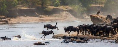 Wildebeest doskakiwanie w Mara rzekę wielka migracja Kenja Tanzania Masai Mara park narodowy Fotografia Royalty Free